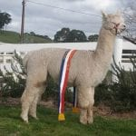 Alpaca stud EP Cambridge Imposing