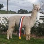 Alpaca stud EP Cambridge Imposing