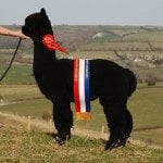 Quality black alpacas for sale