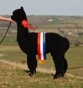 Quality black alpacas for sale