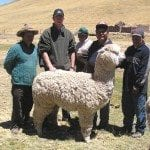 Alpacas selected for import into Europe