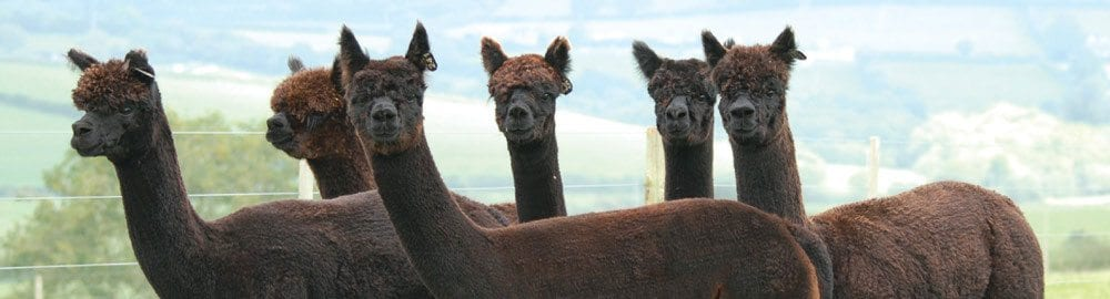 Black alpacas for sale