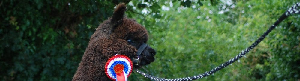Alpacas for sale with show prizes for sale