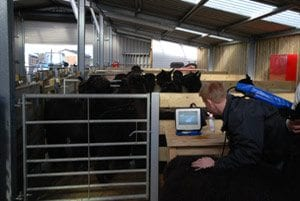 Alpacas for sale being scanned